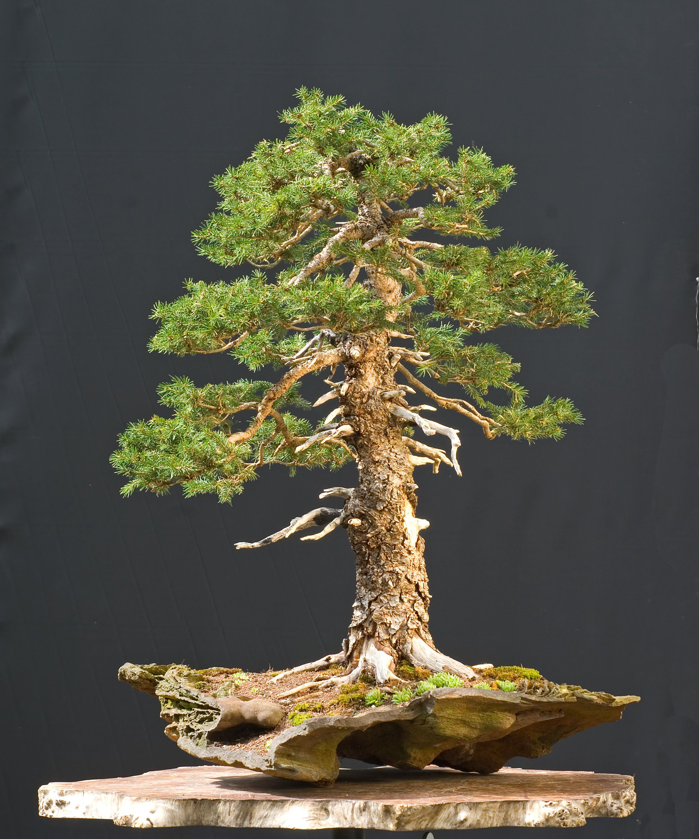 Coniferous Bonsai Trees Bonsai art, Bonsai tree care, Bonsai