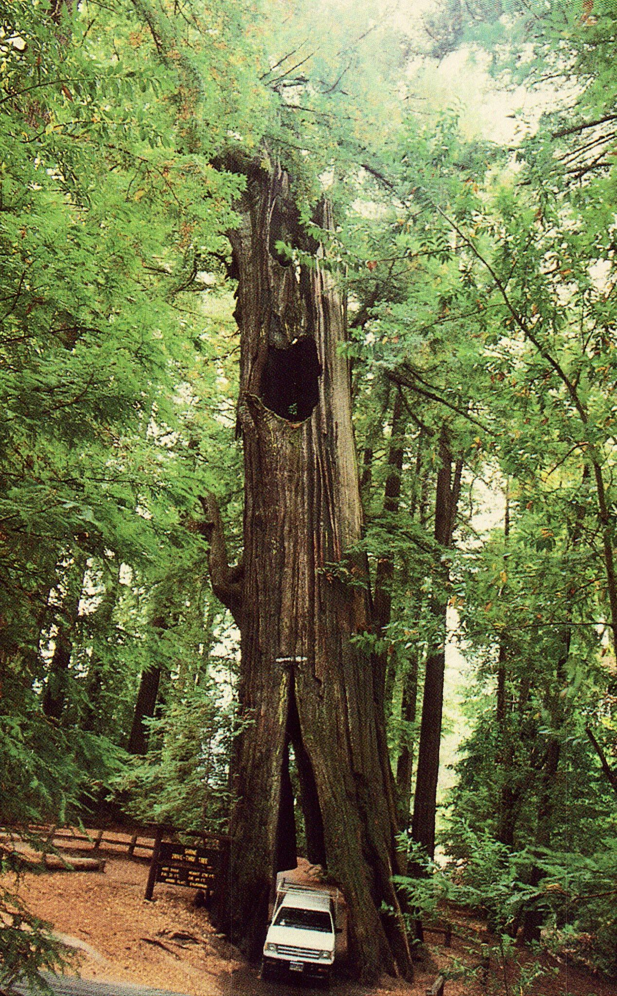 Original Drive-Thru Tree,Shrine Park-Redwood Forest ...