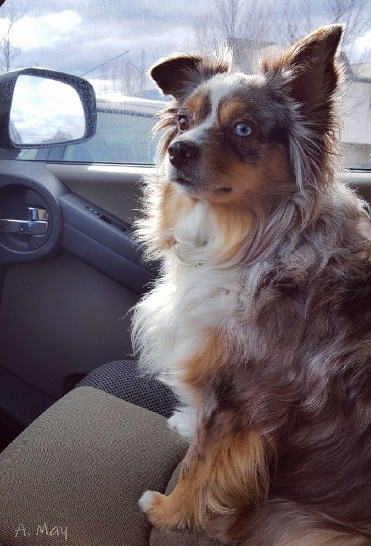 Maisy Mini Australian Shepherd Red Merle Ready To Go Cute Dog