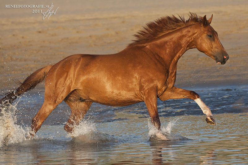 "Portfolio ""Horses""   Chestnut horse, Wild horses running ... - photo#29"