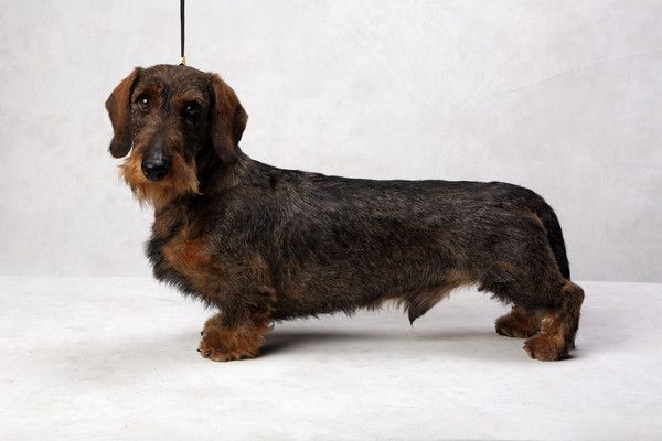 Westminster S Best Of Breed Dog Show Wire Haired Dachshund