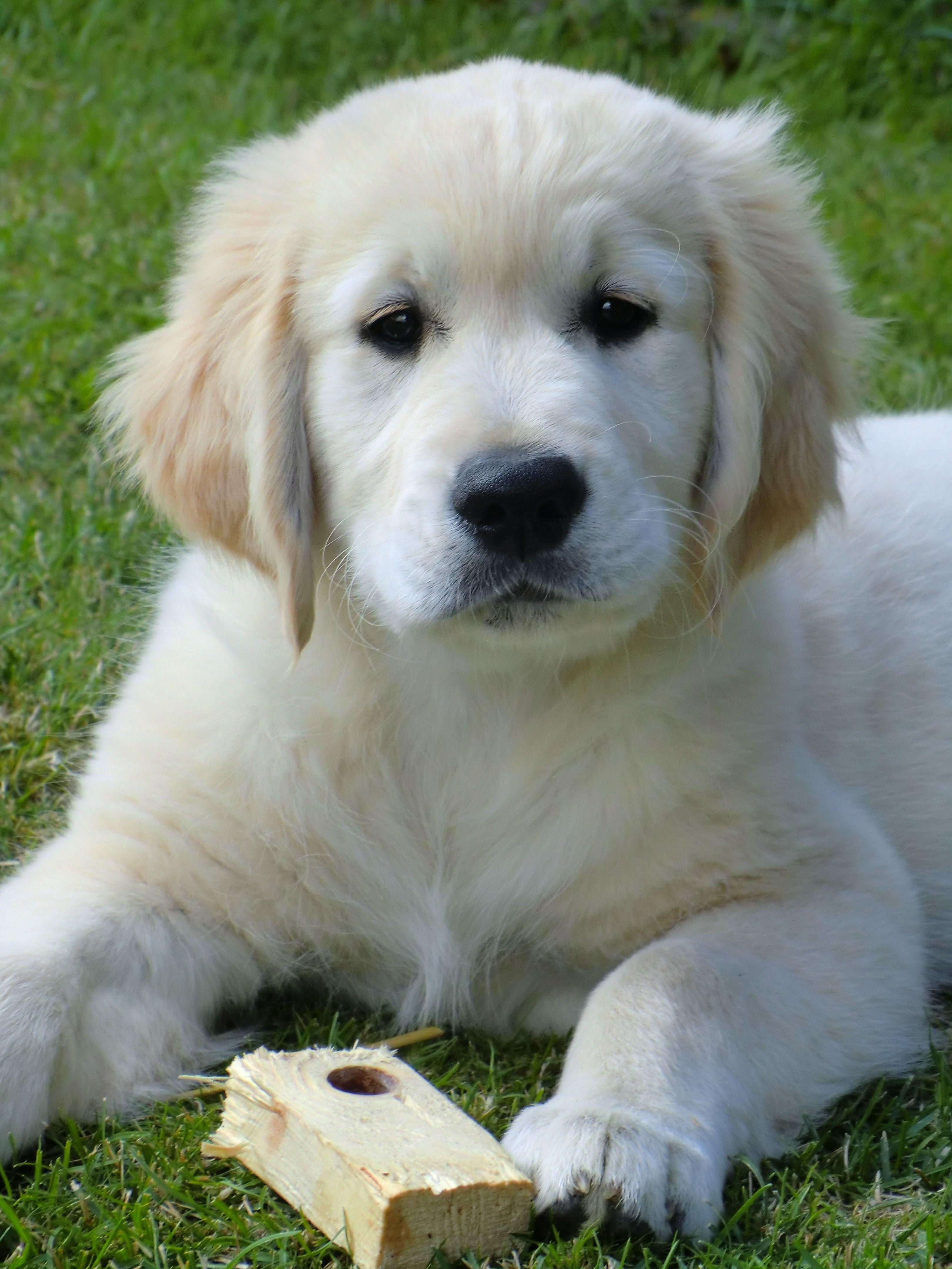 Puppy Frodo White Golden Retriever Puppy Golden Puppy Golden