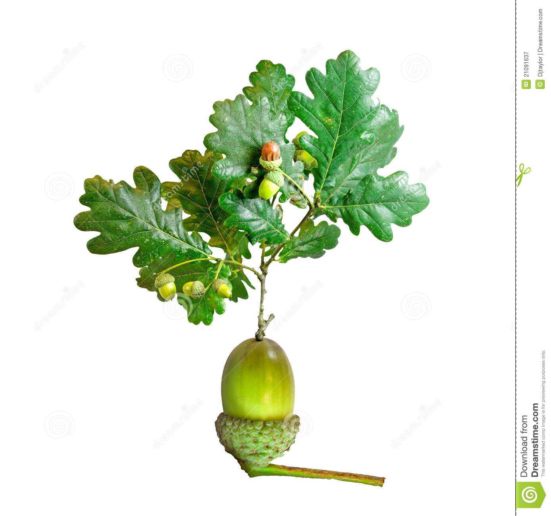 oak tree with roots acorn - Google Search | Logos | Pinterest ...