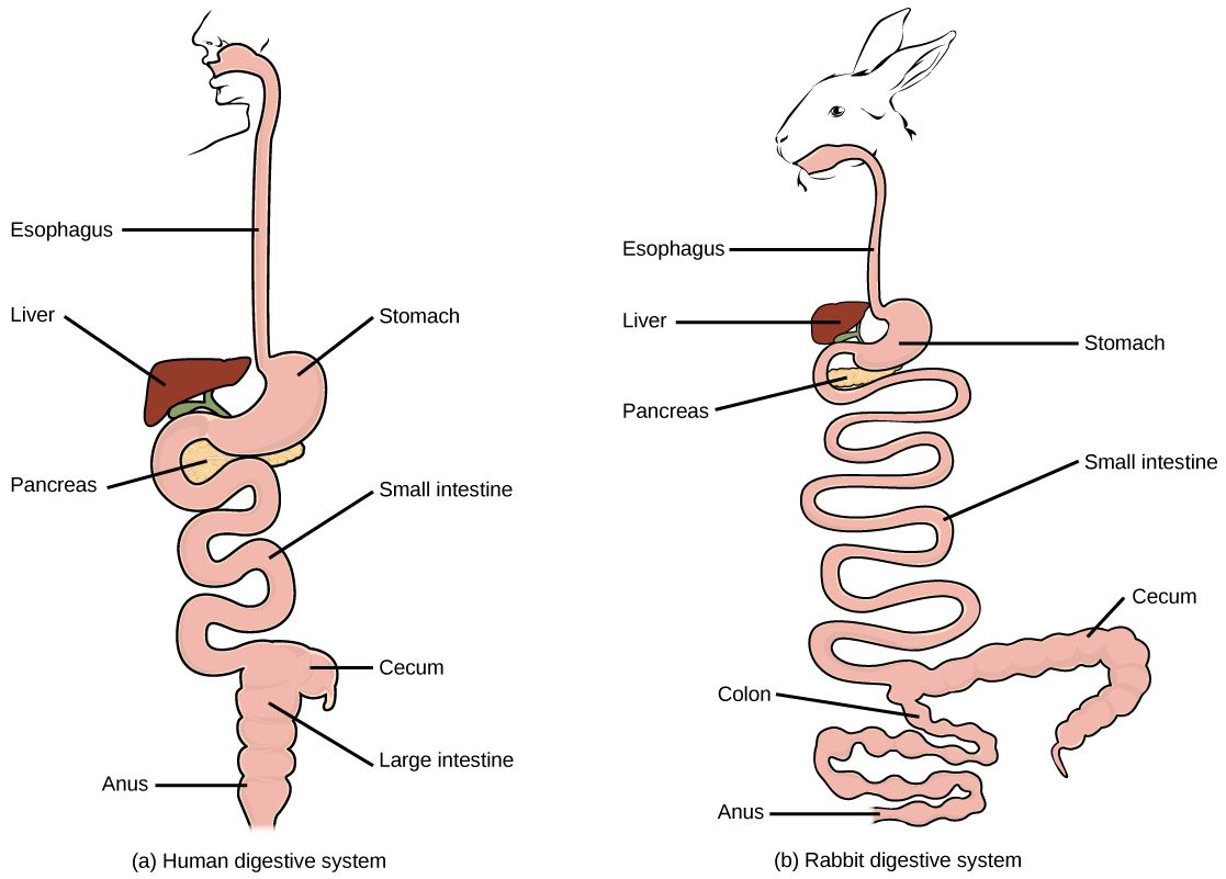 Human Vs Rabbit Digestive Systems In The Rabbit The