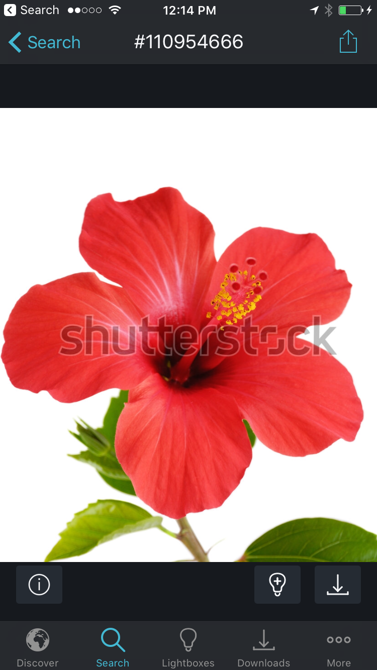 Pin By Marie Appert On Hibiscus Flower Hibiscus Flowers Flower Painting Red Flower Tattoos