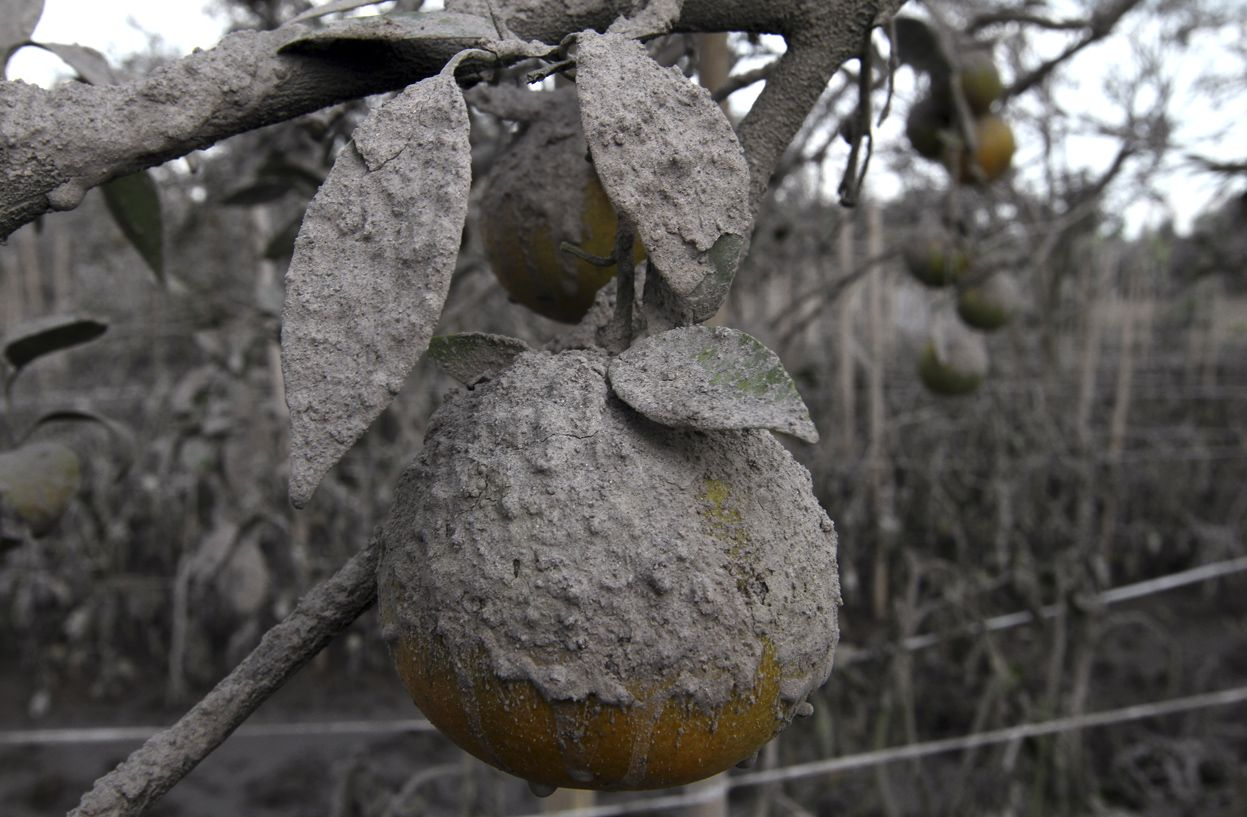 An orange, covered in ash from Mount Sinabung, Sibintun village, January 10, 2014. (Reuters/Roni Bintang)