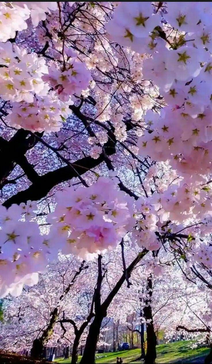 Pin By Habibah Tien On Sakura Flowers Nature Beautiful Flowers Blossom Trees