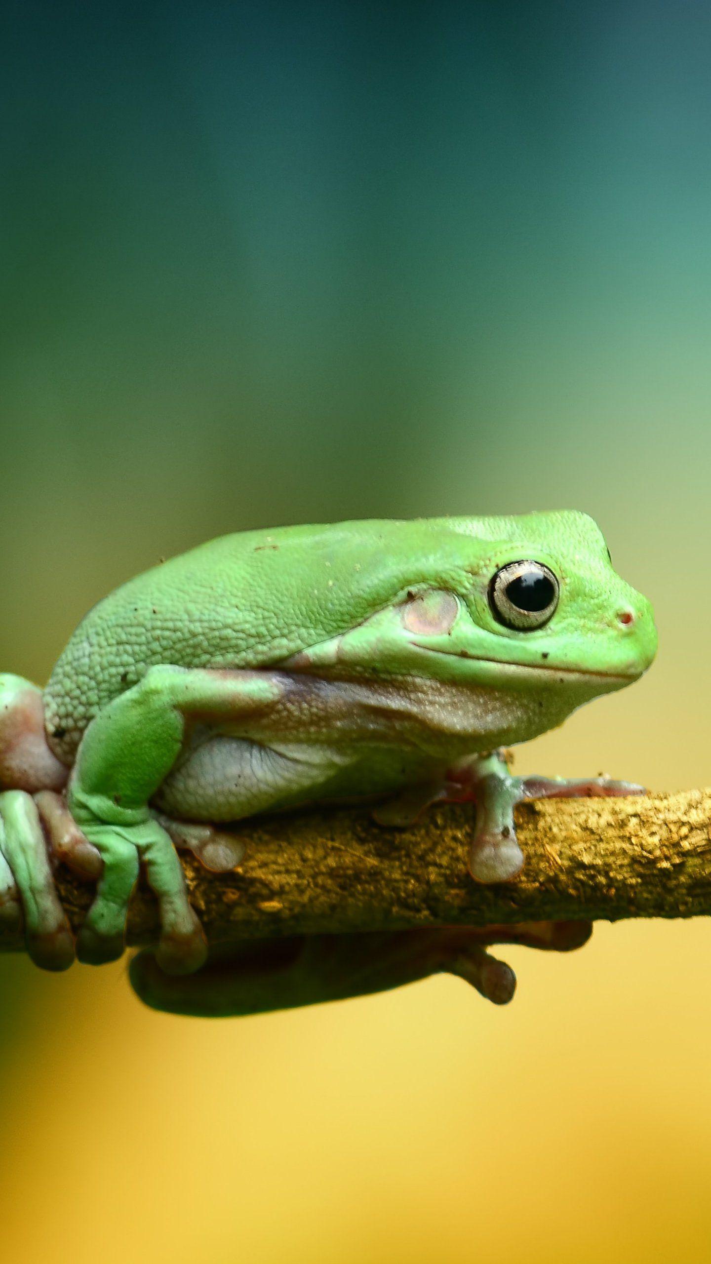 Green Frog Wallpaper Iphone Android Desktop Backgrounds Frog Wallpaper Mobile Wallpaper Wildlife Wallpaper