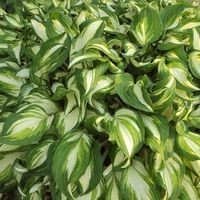 Growing hostas in Florida