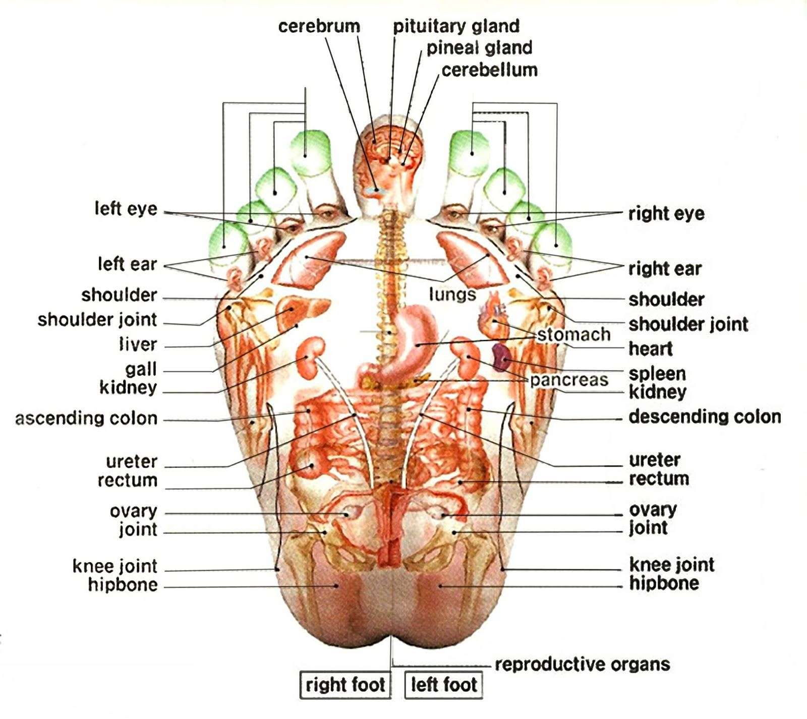 English definition pressure points for head pressure points on english definition pressure points for head pressure points on feet ccuart Image collections