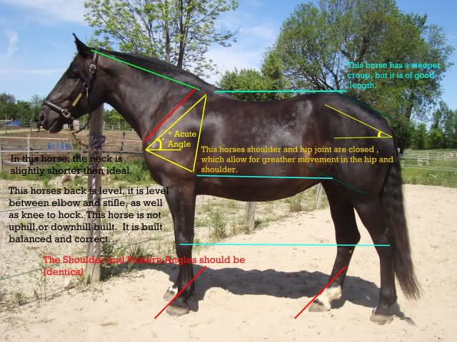 I've never thought to look if a horse was level from knee ...