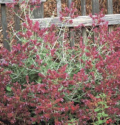 Canary Island Sage Finegardening Salvia Canary Islands Perennial Shrubs