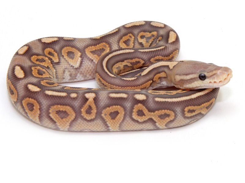 Cinnamel Ball Python #snakes #reptiles #topanimals | My Pets ...