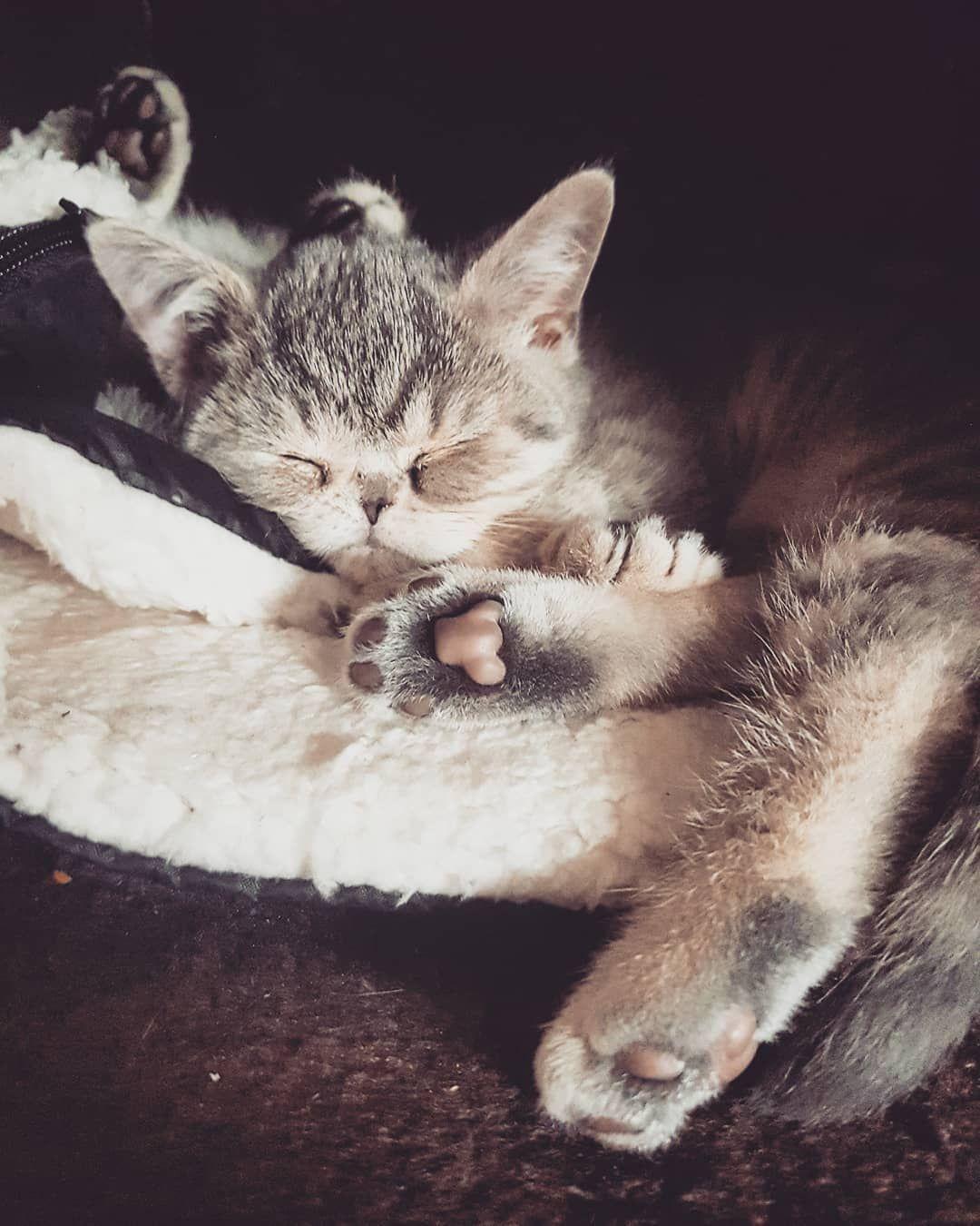 Good Night Bkhkitten Bshkitten Bkh Bkhsilver Britisch Baby Cats Cat Day Cat Lovers