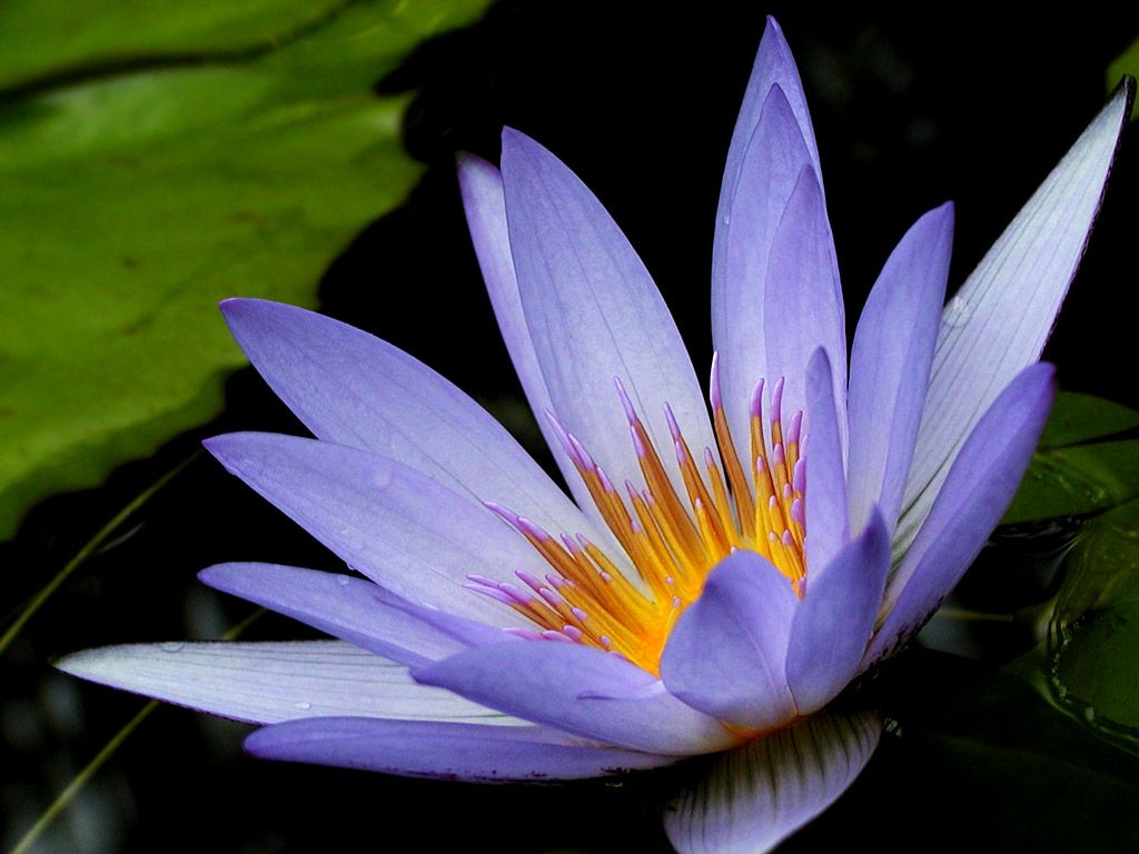 Purple lotus lotus is the feng shui flower for july eye purple lotus lotus is the feng shui flower for july dhlflorist Images