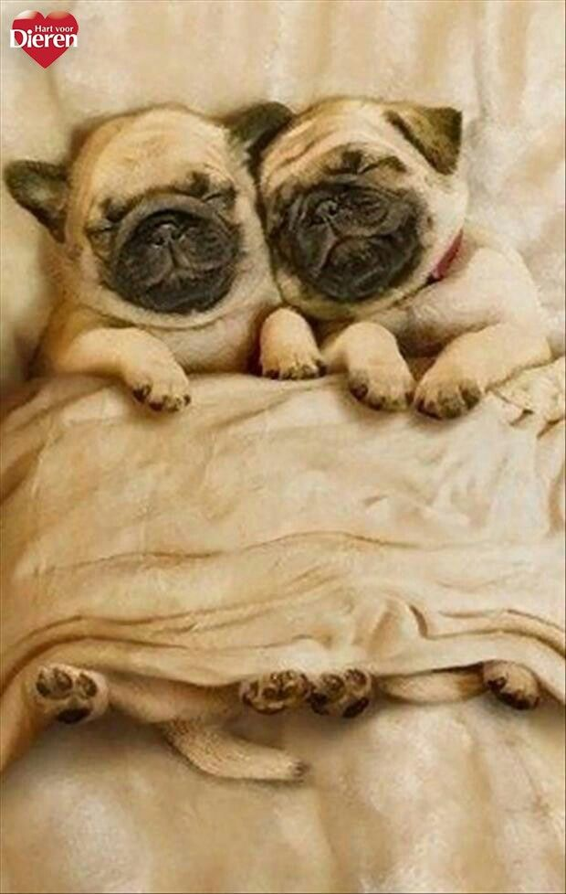 Pin By Anita On Good Night Cute Pugs Animals Pugs
