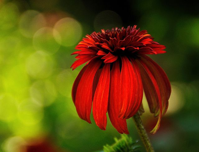 "echinacea aka coneflower - this one is ""hot papaya"" - my favorites"