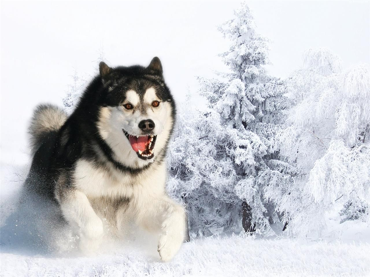 Details About Siberian Husky Glossy Poster Picture Photo Dog Puppy