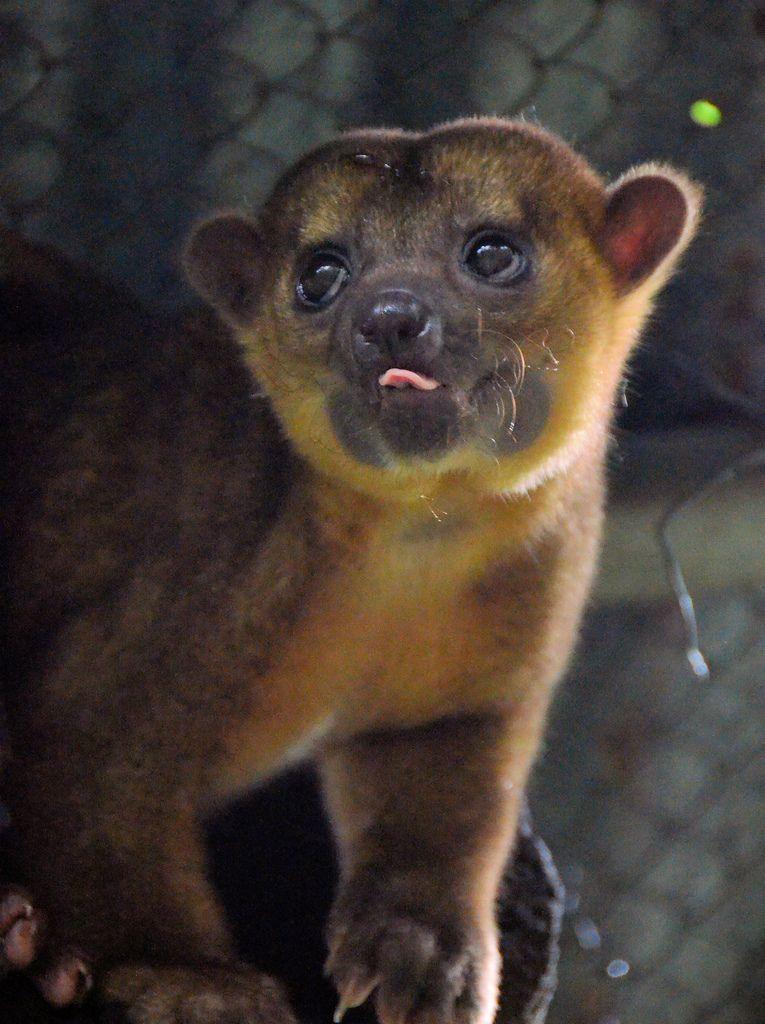 Kinkajou Potos Flavus In A Rainforest Rescue Refuge Costa Rica Rare Animals Cute Animals Animals Wild