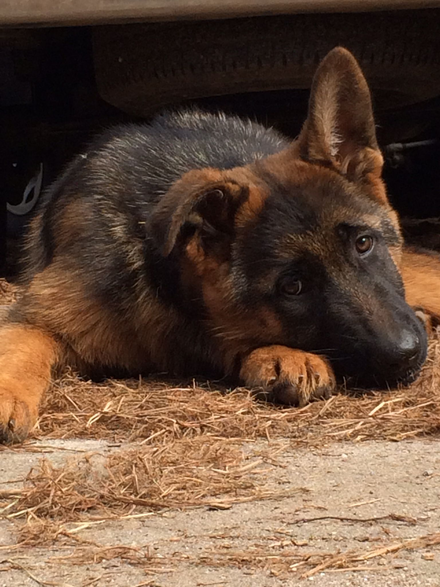 Vic Von Den Oher Tannen Gsd Puppies Puppy Pictures German