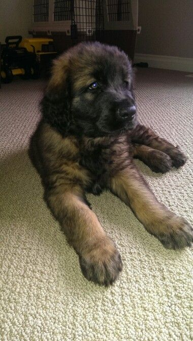 8 Week Old Leonberger Puppy Ralph Leonberger Puppy Puppies
