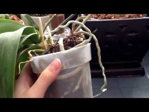 Phalaenopsis Orchid Care Repotting Tips Watering Information And Much More From Just Add Ice Orchids Repotting Orchids Orchid Care Phalaenopsis Orchid Care