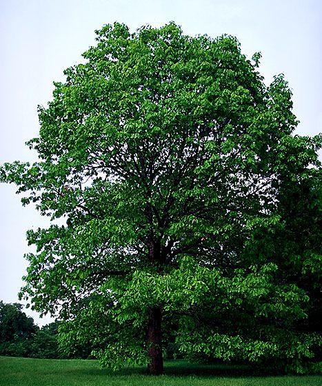 White Oak Maryland: Maryland State Tree
