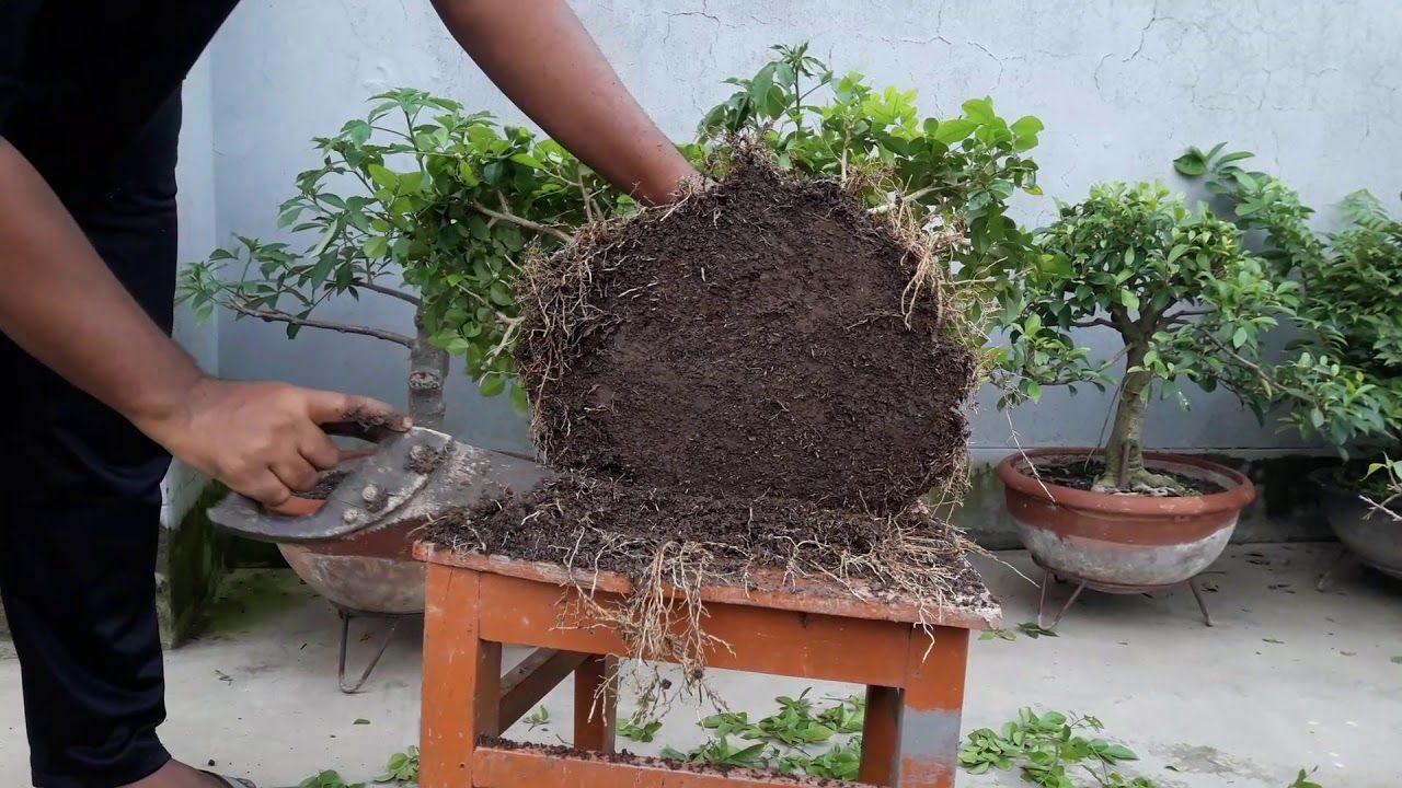 Bonsai Tutorials For Beginners Repotting A Bonsai Tree Bonsai Tree Bonsai Tree Care Bonsai Plants