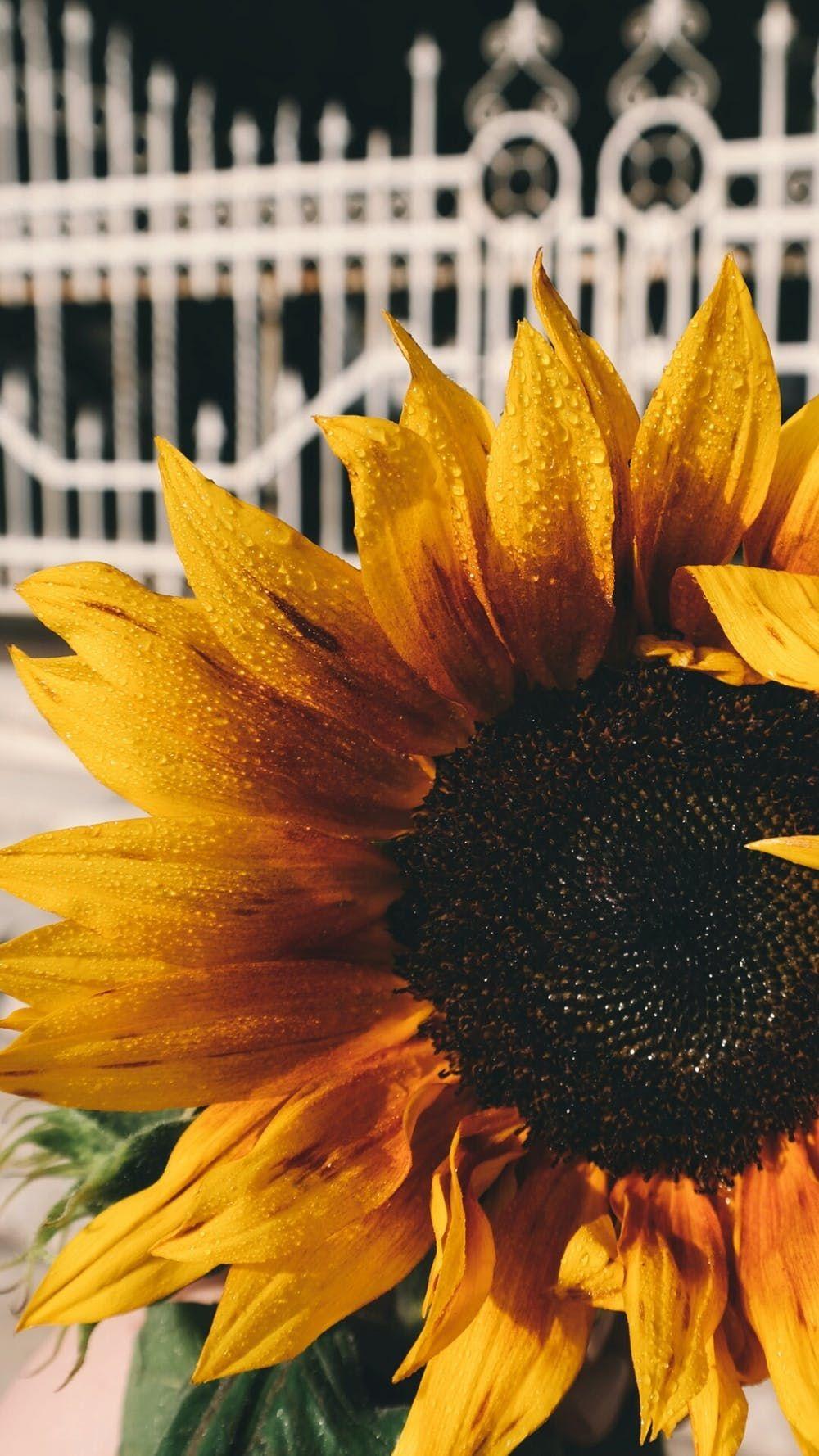 Matheney Platform Bed In 2020 Sunflower Wallpaper Sunflower Images Sunflower Iphone Wallpaper