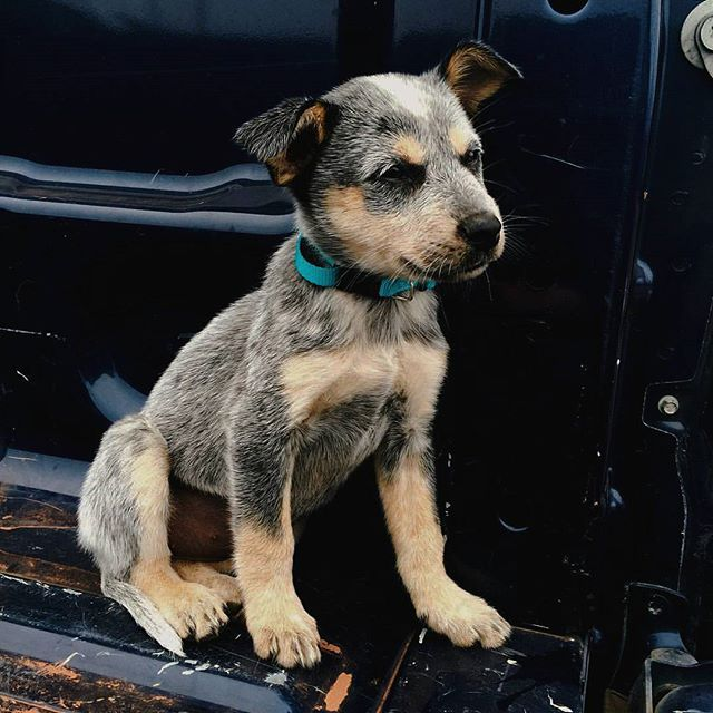 blue heeler ♡ . . . . . . .  #dog #dogs #puppy #pup #pet #pets #animal #animals #InstaTags4Likes #cute #dogs_of_instagram #petstagram #petsagram #dogsitting #photooftheday #dogsofinstagram #ilovemydog #instagramdogs #nature #dogstagram #dogoftheday #picpets #lovedogs #lovepuppies #blueheeler #adorable #doglover #instapuppy #instadog