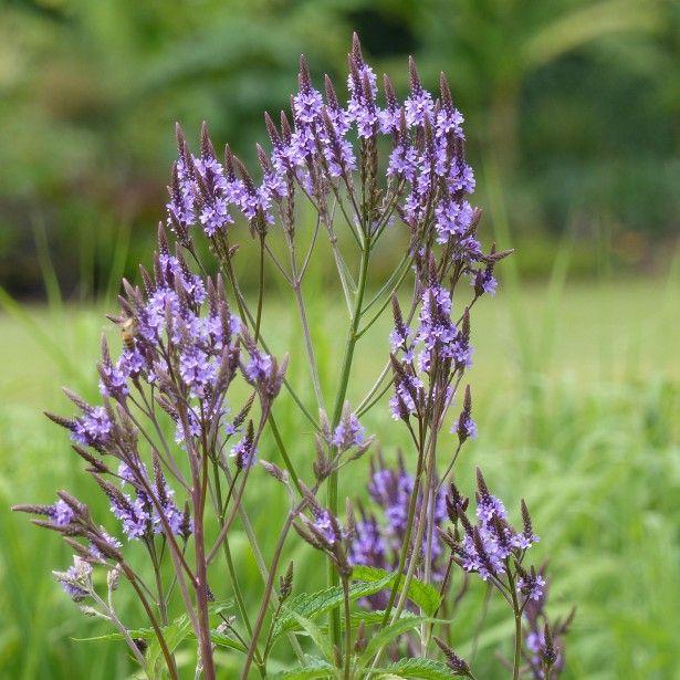 Propos de verveine verbena hastata grande vivace for Plantes vivaces rustiques