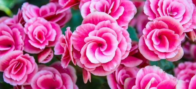 Choosing And Growing Tuberous Begonias Doityourself Com Flower Meanings Begonia Flowers