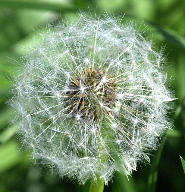 Tick Tock Dandelion Clock Dandelion Clock Dandelion Dandelion Flower
