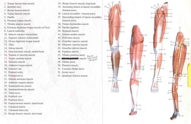 labeled muscles of lower leg yahoo search results. Black Bedroom Furniture Sets. Home Design Ideas