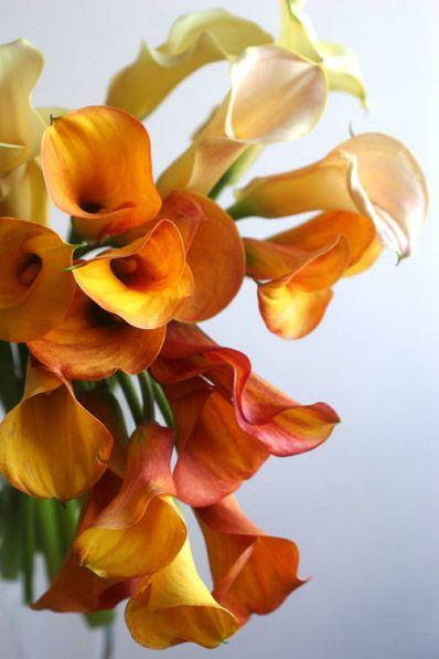warmth of calla lily