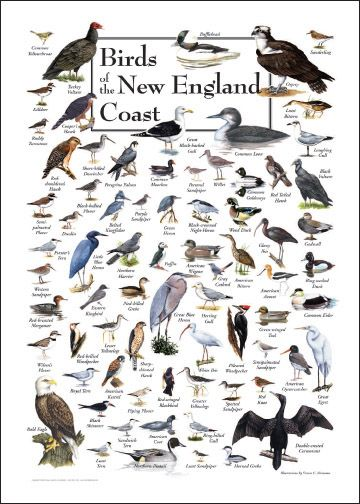 Superbe This Stunning Poster Includes 81 Of The Most Common Backyard Birds Of The  Region. Description