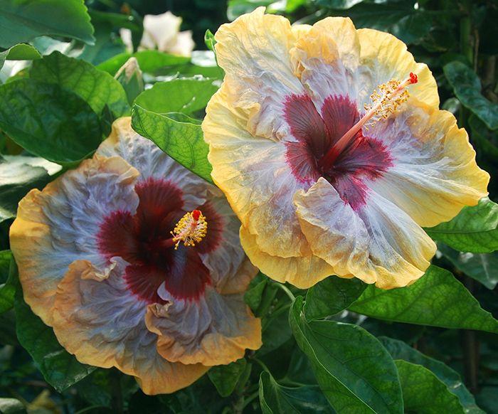 Hidden Valley Hibiscus Hibiscus Magnum Opus Hibiscus Hibiscus Plant Pretty Flowers