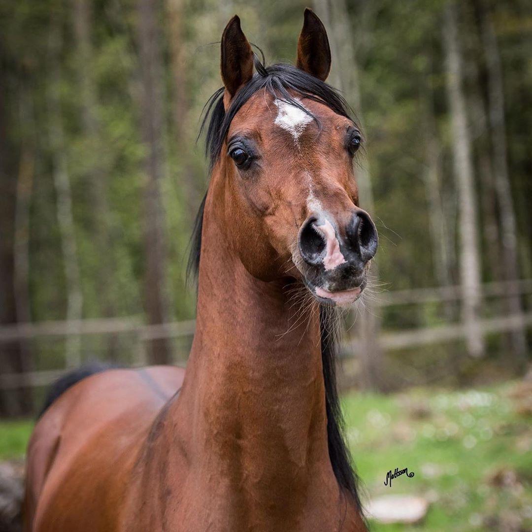 The Arabian Horse On Instagram Marwan Ce Magnum X Margotka Photos By Anette Mattsson In 2020 Horses Arabians Arabian Horse