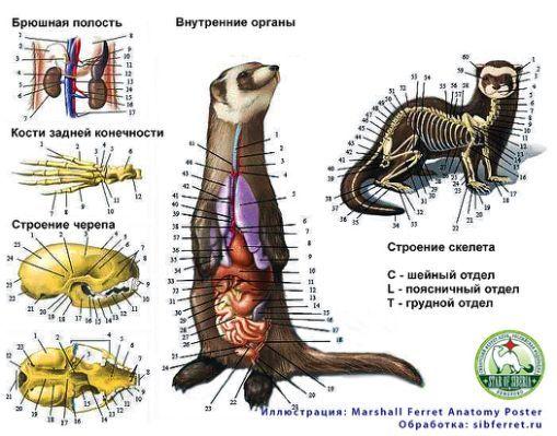 Ferret Anatomy Poster Image Search | Animais | Pinterest | Ferret