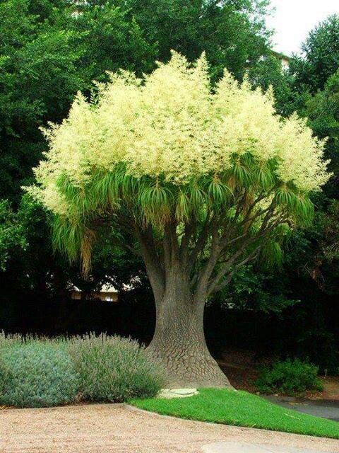 Ponytail Palm tree. Beautiful isn't it? #bonsaiplants