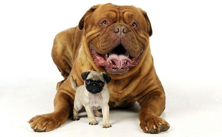 Adorables Cachorros Que Te Encantaran Dogo De Burdeos Dogo De Bordeaux Cachorros