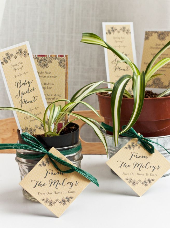 Baby Spider Plant Housewarming Gifts Spider Plants Plant Gifts
