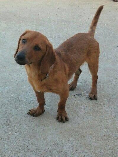 Adopt Kc On Dogs Basset Hound Dog Dog Training