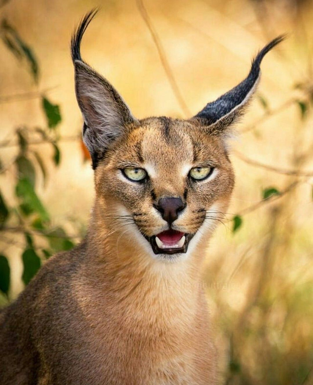 Caracal (cat): description of the breed, photo 48