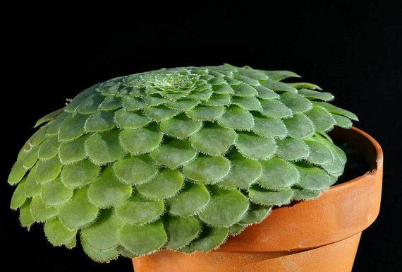 Tabuliforme Aeonium, Plato suculento, 25 semillas raras, forma