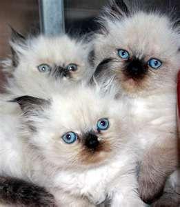 Photo4 293x221 Jpg 293 221 Ragdoll Kitten Ragdoll Cat Breeders Ragdoll Kittens For Sale