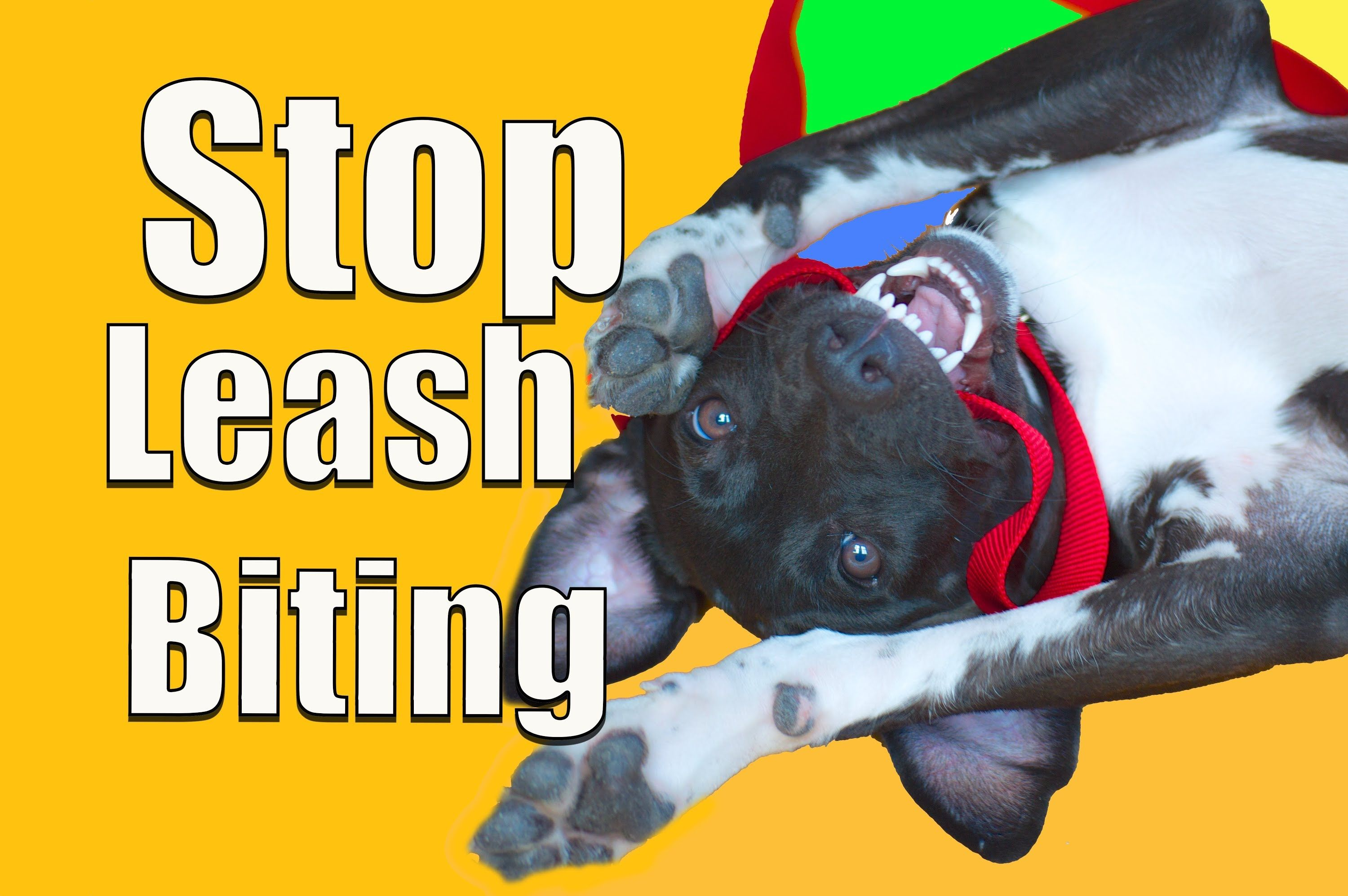 How to stop puppy biting on a leash with images stop