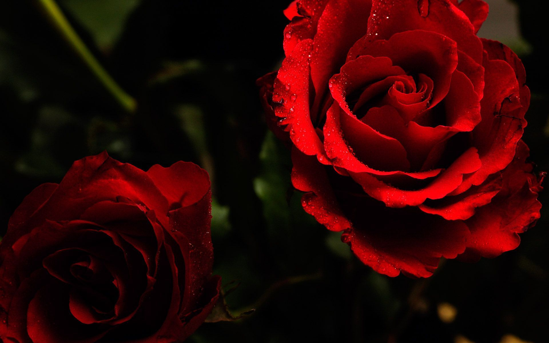 Pin By Tran Van On Um Pouco De Tudo A Little Bit Of Everything Red Roses Wallpaper Beautiful Red Roses Red Flower Wallpaper