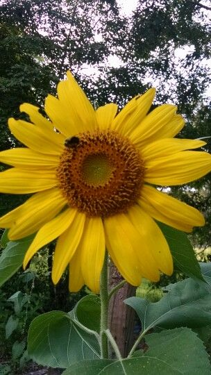 Image result for bee in a sunflower Pinterest