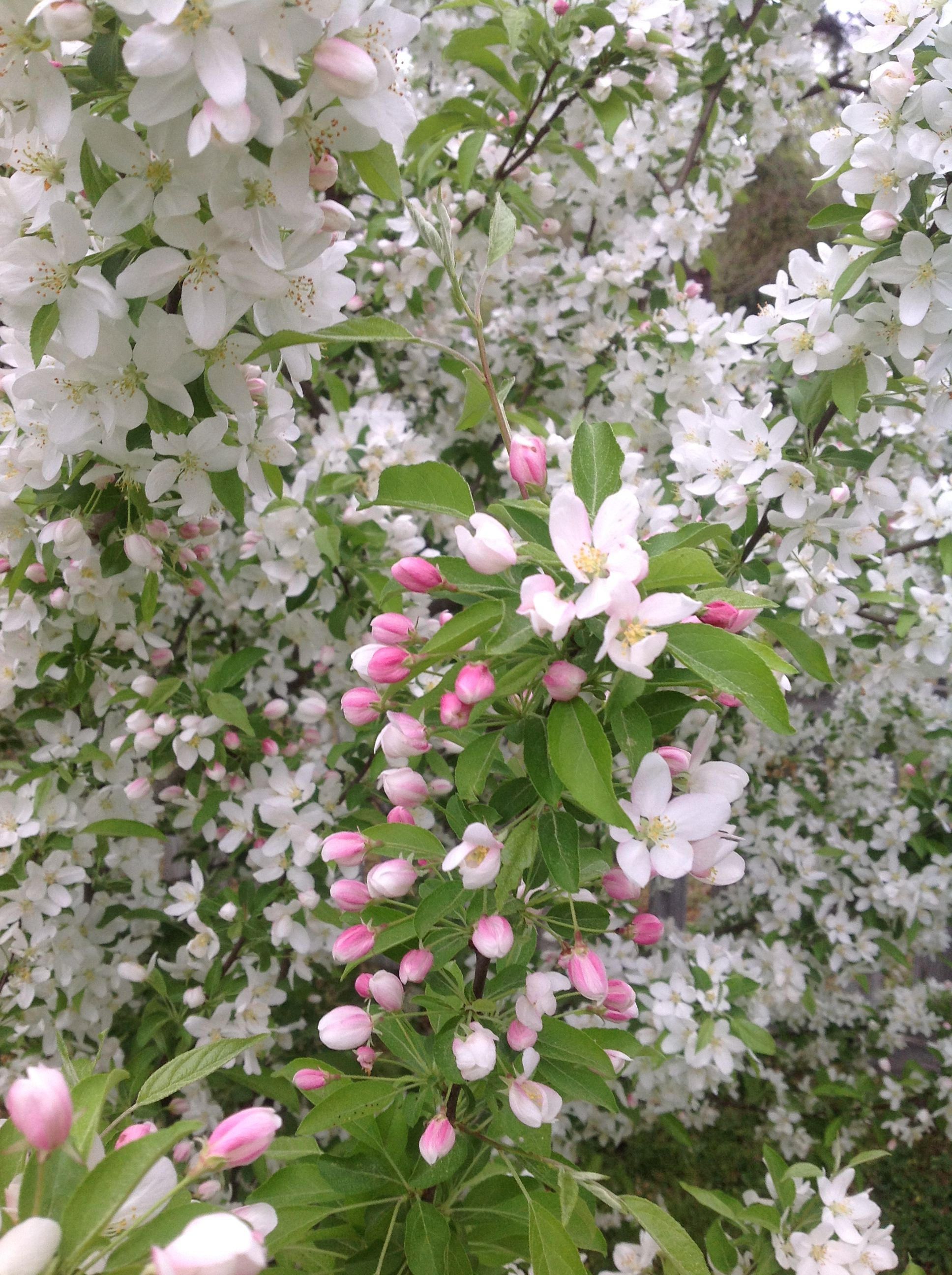 Crab Apple Tree | Front yard plants, Crabapple tree, Front ...